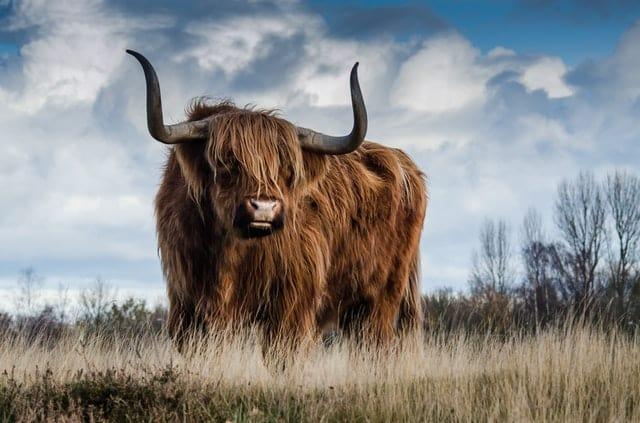 A bull (Pexels)