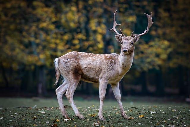Deer (Pexels)